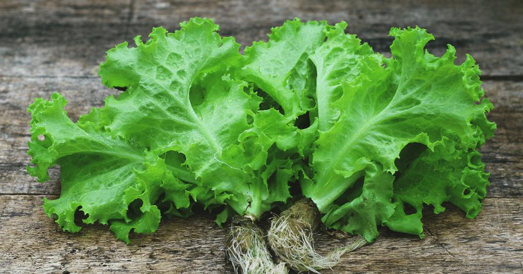 3 Penyebab dan Cara Pencegahan Bolting Pada Tanaman Selada